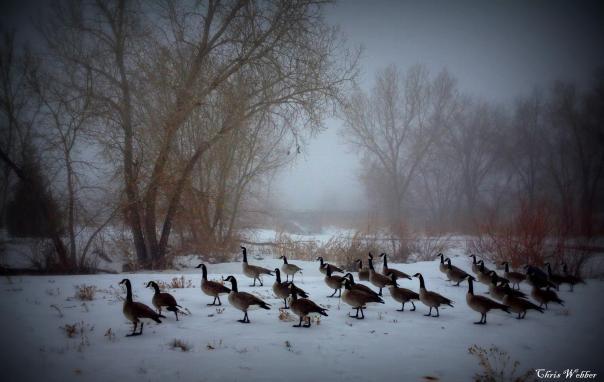 jordan-river-parkway-geese